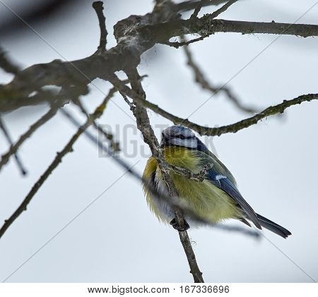 Blue Tit On A Twig