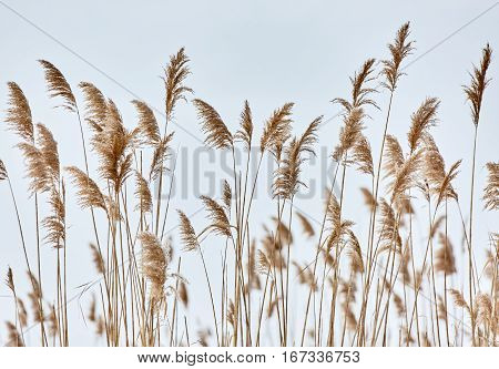 Reed Closeup In Winter