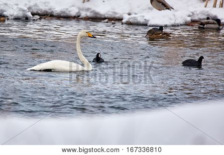 Whopper Swans And Coot