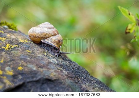Snail of Helix genus on a stone