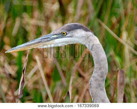 Extreme Closu up of a Great Blue Heron in grassy wetllands profile view