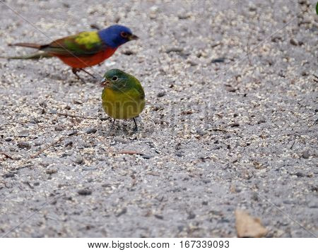 Yellow Female Painted Bunting small bird on ground with seed in beak and male painted bunting in background