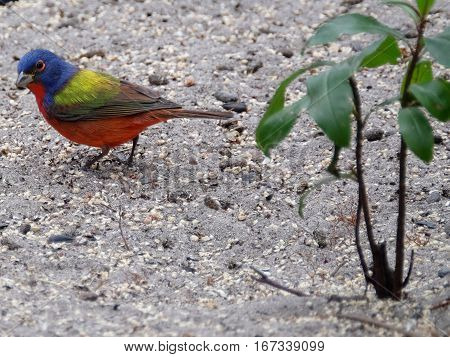 Colorful male Painted Bunting small bird on the ground