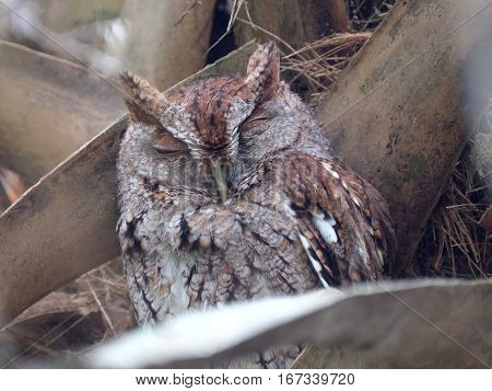 Sleepy Eastern Screech Owl up in a Cabbage Palm Tree