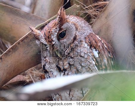 Eastern Screech Owl head partially down blending into tree