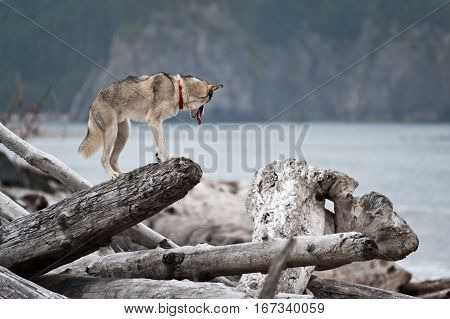 husky jumping over logs in Mora Beach Olympic National Park Washington State USA