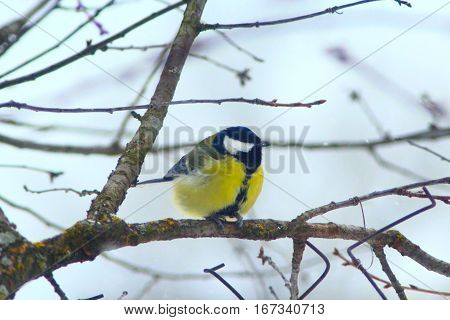 titmouse sits on the branch in cold winter