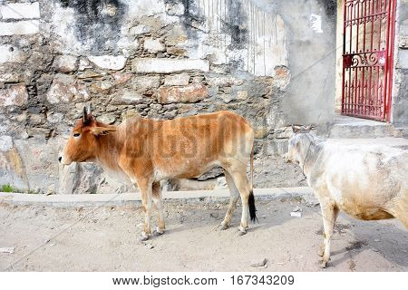 Two Roadside Cows in Udaipur, Rajasthan India.