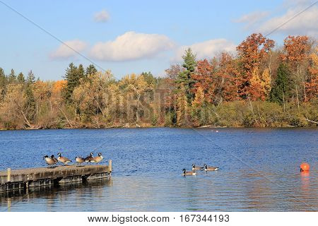 Many geese on pear in fall landscape