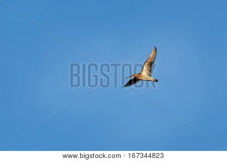 Beautiful bird Eurasian Curlew (Numenius arquata) in flight on blue sky background in summer day