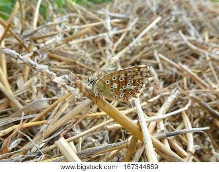 Photo of a little brown butterfly sitting on a hayfield