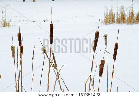 closeup of cattails in the frozen snow covered pond