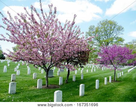 Arlington, USA - April 9, 2010: Blossom trees on the Arlington National Cemetery.