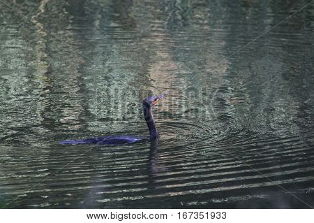 The cormorant bird on the water surface
