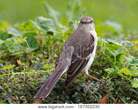 Northern Mockingbird making direct eye contact head turned for full frontal view of face