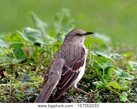 Close Up of a Northern Mockingbird on Hedge in profile