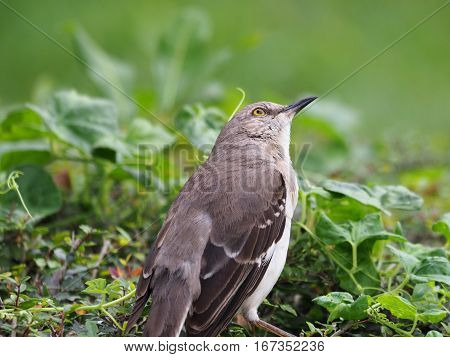 Northern Mockingbird head tilted sideways gazing up into sky