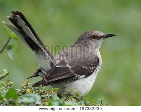 Close up profile view of Northern Mockingbird on a hedge with tail sticking straight up in the air