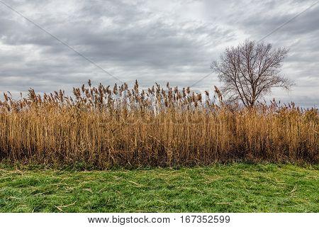 A field of Prairie Cordgrass (Spartina pectinata))