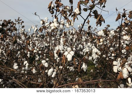 Cotton field in Delaware. Dover, Delaware, United States