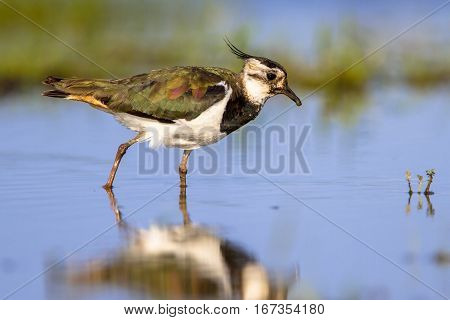 Wading Female Northern Lapwing