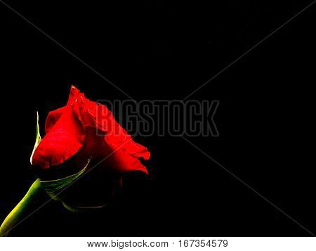 Isolated red rose on black background copy space