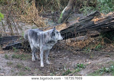 The grey wolf hunting in the forest