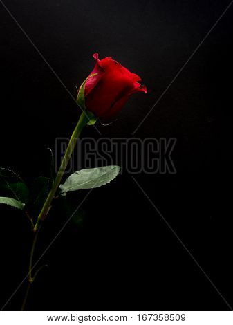 Single red rose with black copy space