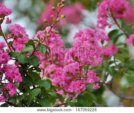 Bunches of bright pink Crepe Myrtle flowers en masse in close-up surrounded by leaves.