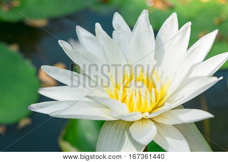 White Lotus Against The Water And Green Leaves.