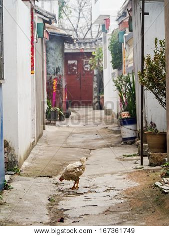A chicken pecks at the ground in an alleyway of the old city of Dali China.