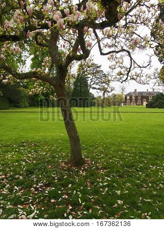 A pastoral scene with magnolia tree in the foreground with a French manor in the background.