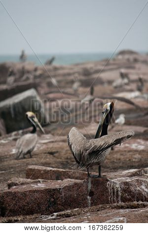 Several brown pelicans on granite rocks at the gulf of Mexico in Texas.