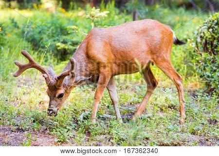 Deer in pine forest.