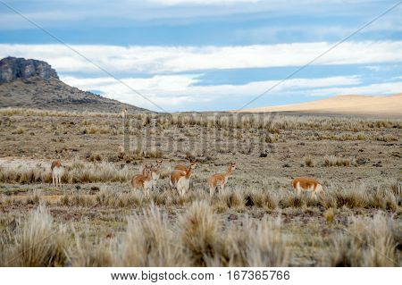 Vicugnas wild South American camelids in the high alpine areas of the Andes. Salinas y Aguada Blanca National Reserve - protected area located in the regions of Arequipa and Moquegua in Peru