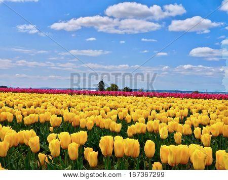 Tulip fields and blue sky. Mount Vernon Tulip Festival. Tulip Town. Seattle. Washington. United States.
