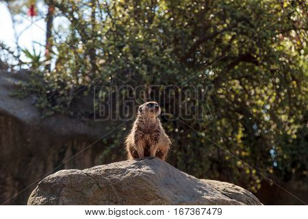 Meerkat Suricata suricatta on a large rock on the lookout for predators or food.