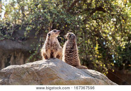 Meerkat , Suricata Suricatta, On A Large Rock