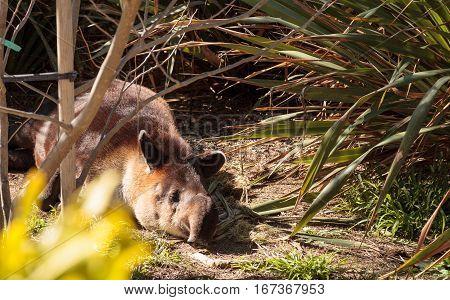 Central American tapir Tapirus bairdii sleeps in the brush along a river bank.