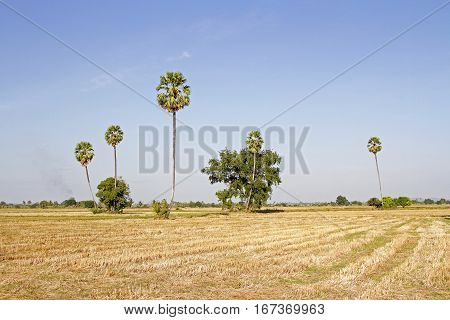 Fields and rice straw and rice stubble and sugar palm and evening and cornfield background