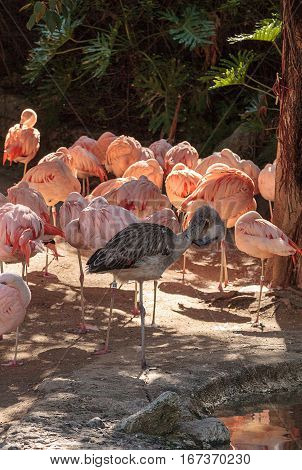Adolescent gray Chilean flamingo Phoenicopterus chilensis in the middle of adult pink flamingos during breeding season.