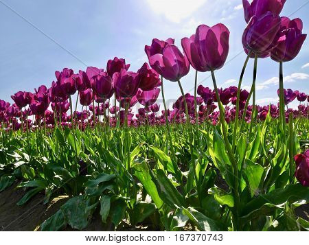 Purple tulips against blue sky. Colourful tulip fields at Mount Vernon Tulip Festival near Seattle. Washington. Unites States.
