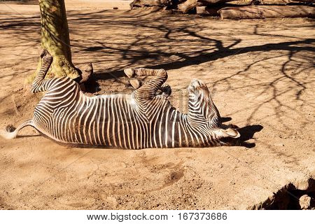 Grevy's zebra, Equus grevyi, relaxes in the sun after a dust bath.
