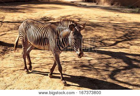 Grevy's Zebra, Equus Grevyi