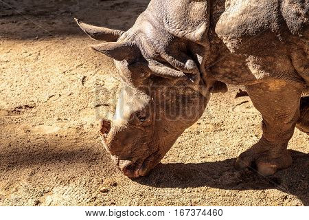 Indian rhinoceros Rhinoceros unicornis found in the savannahs of India and Nepal.