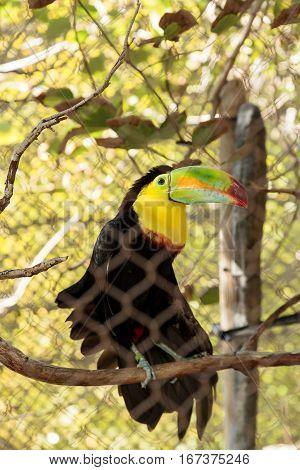Keel-billed Toucan, Ramphastos Sulfuratus