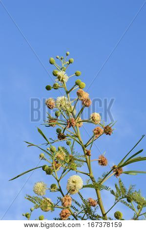 fresh leucaena glauca flower in nature garden