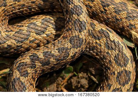 pattern of hungarian meadow viper scales close up on wild animal body ( Vipera ursinii rakosiensis )