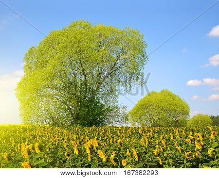 Spring landscape with sunflower field in sunny day.