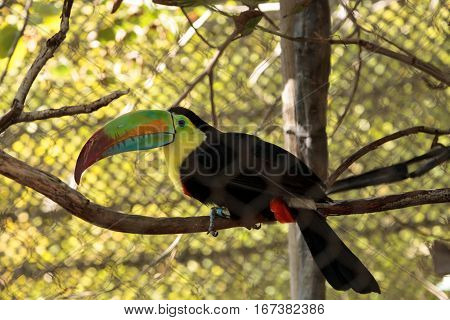 Colorful beak of the keel-billed toucan Ramphastos sulfuratus contains yellow red green orange and blue.